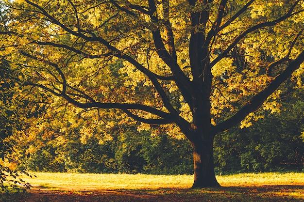 秋の公園、正面に太陽と黄色の葉のバックライト付きの巨大な古いoの木。