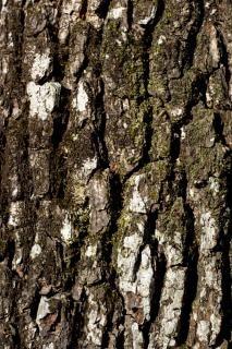 オーク樹皮