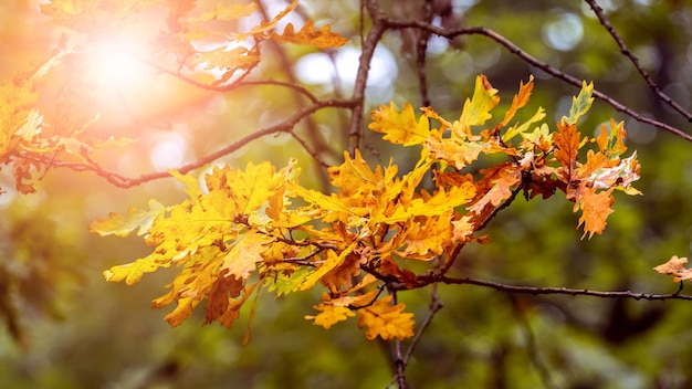 晴れた晴れた日の秋の森の乾燥した葉を持つオークの枝。森の中の晴れた秋の日