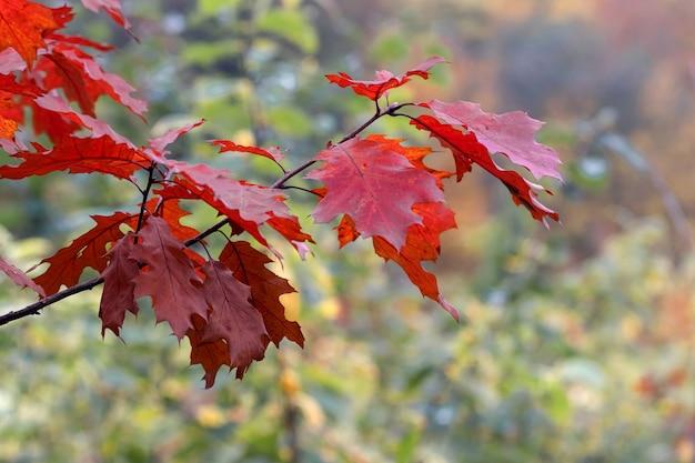 Дубовая ветвь с красными осенними листьями на размытом фоне. осенние листья