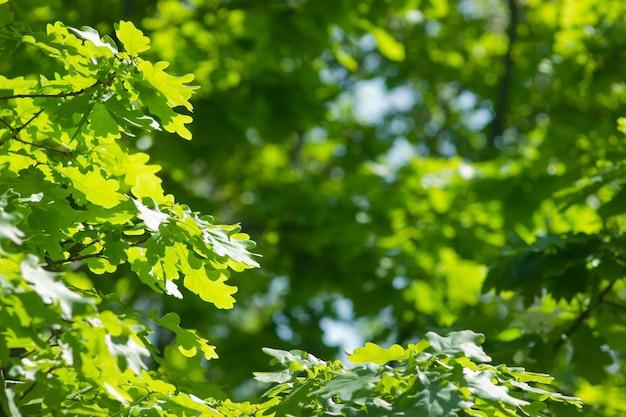 Oak green brunches in bright sunshine background