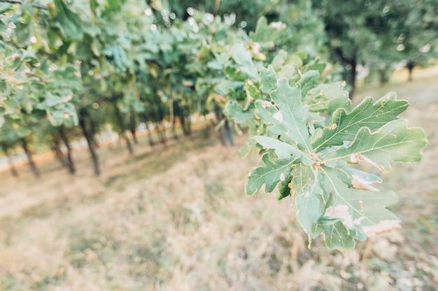 夏の日にオークグリーンの葉。自然な背景