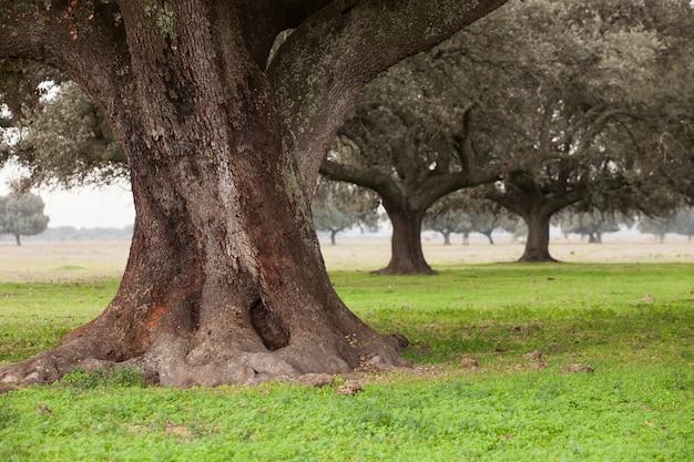 Oak holms, ilex in a mediterranean forest.