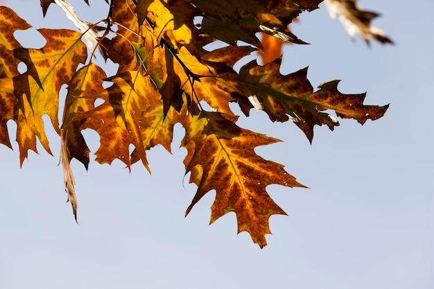 秋のオーク