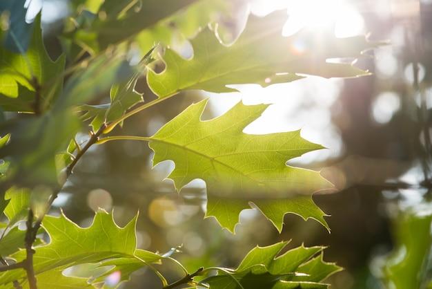 Дубовые листья на солнце