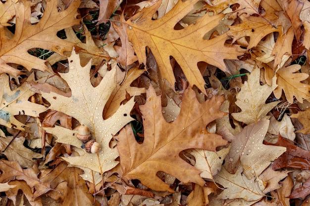 オークの葉の質感。黄色の葉の秋の背景。