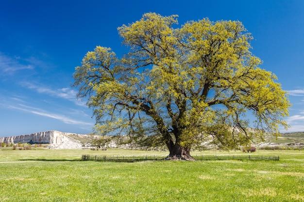 Oak lone grows in field on clear day.