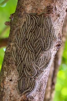 Дубовая процессионная моль thaumetopoea processionea гусеницы на тропическом дереве