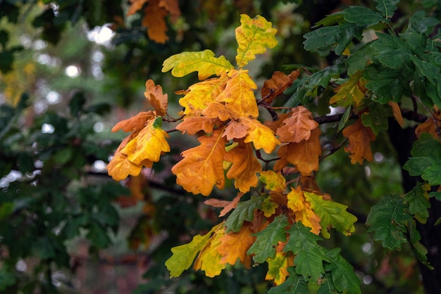 Oak tree branch with green, yellow and brown leaves in fall.