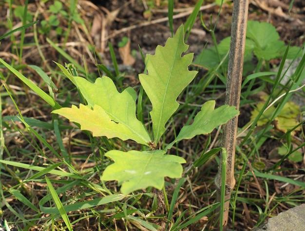 Саженец дуба (quercus robur)