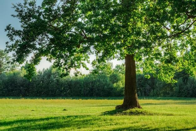 Oak tree with green foliage in summer field in sunset light