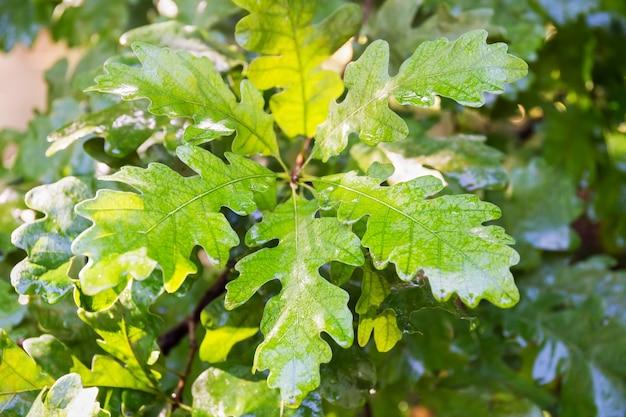 Дуб с молодыми дубовыми листьями. зеленые дубовые листья на берегу в лесу. солнечный свет, мокрые листья после дождя.