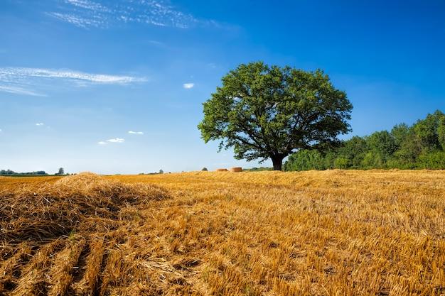 Дубовое дерево