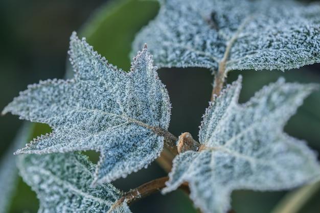 朝の霜で覆われたカシワバアジサイ。