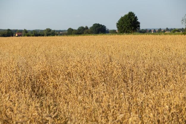 Oat field on sunny day