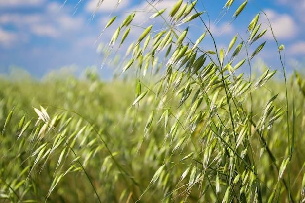 Овсяное зеленое поле в солнечный летний день