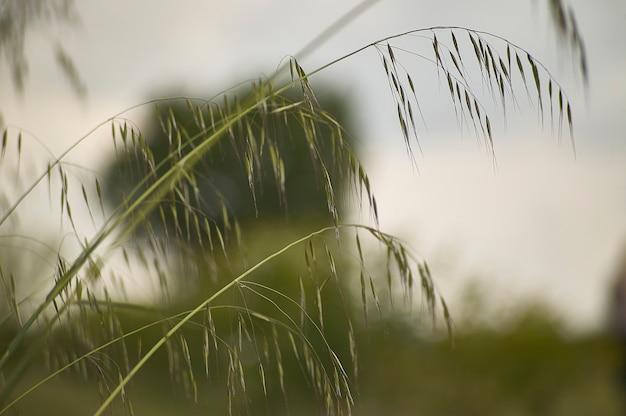 風に動かされる畑のオーツ麦、風の糸、憂鬱と反射を呼び起こすマクロのディテール。