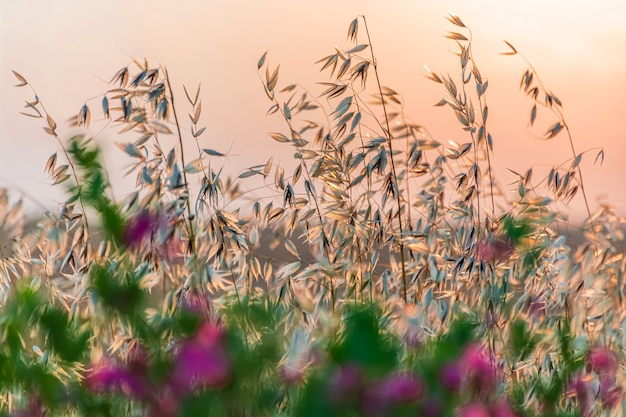Oats at sunset or sunrise against a background of wildflowers, selective depth of field