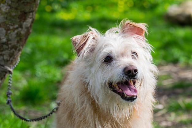 몰타 시골에서 열심히 주인을 기다리는 순종 베이지 색 개.
