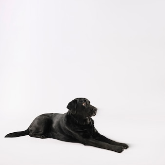 Obedient labrador lying on white
