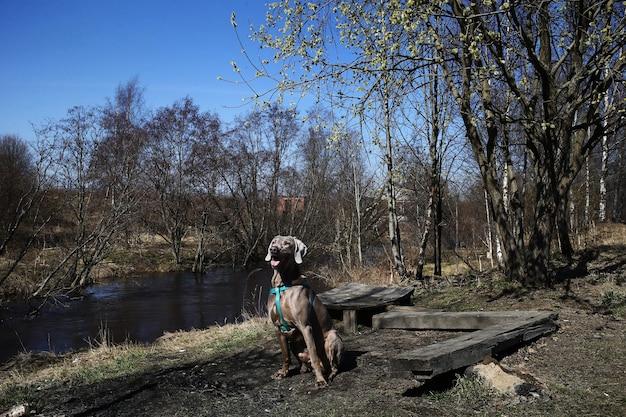 田舎の晴れた日に小川の岸にある木の板の近くに座っている従順なワイマラナー犬