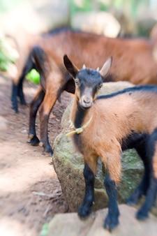Oberheisling goats