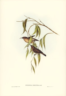 Obscure honey-eater (myzomela obscura) illustrated by elizabeth gould
