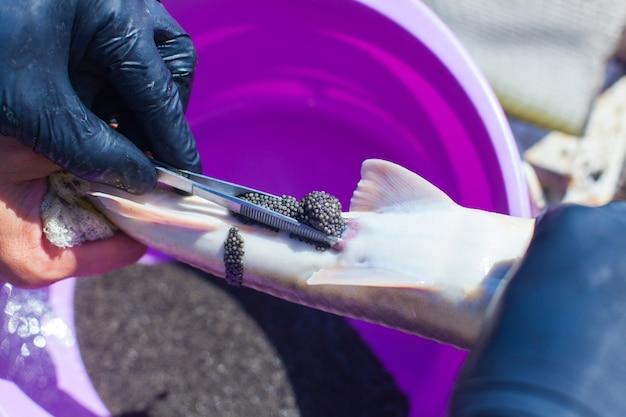 Получение икры осетровых рыб
