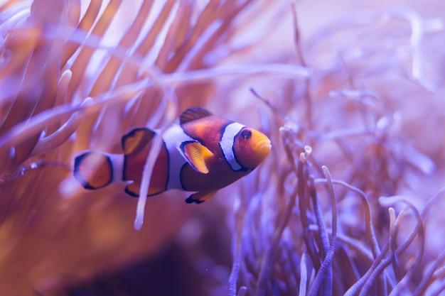 Ocellaris clownfish, clown anemonefish, clownfish, false percula clownfish