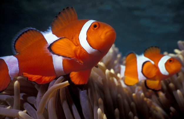 Ocellaris clownfishes among coral reefs