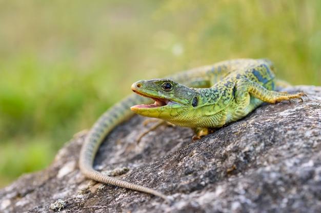 The ocellated lizard or jewelled lizard