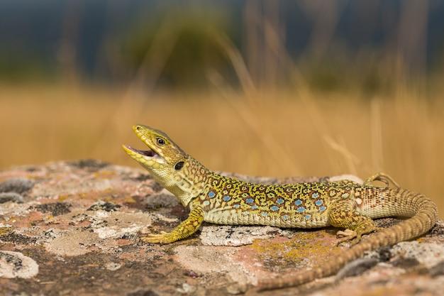 Ocellated lizard, timon lepidus, spain.
