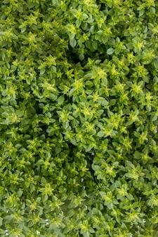 Ocimum minimum plant