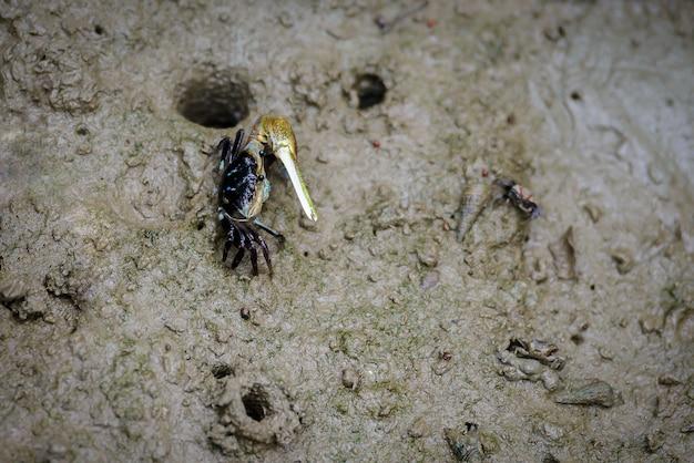 アオガニ、マングローブの中を歩くゴーストカニ(ocypodidae)