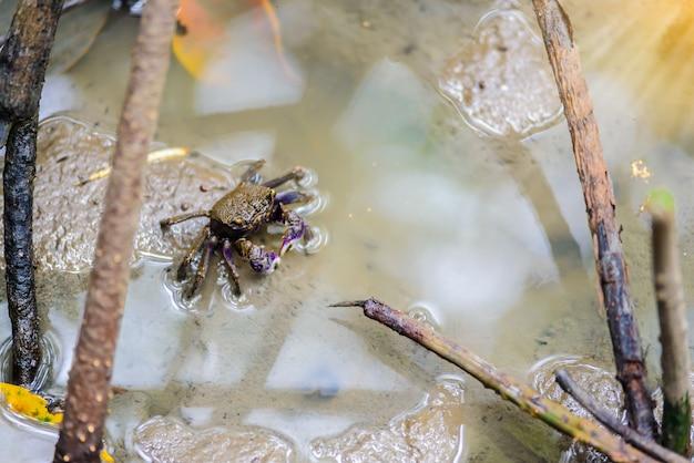 Краб-скрипач, призрачный краб (ocypodidae) гуляет в мангровых зарослях