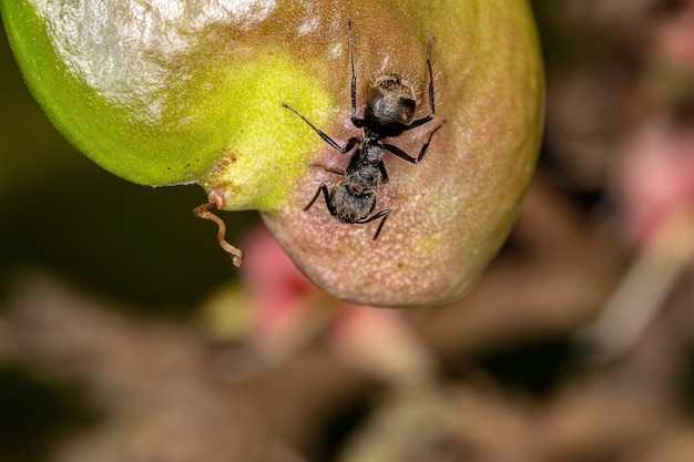 Odorous ant of the species dolichoderus bispinosus