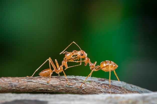 枝に赤アリ(oecophylla smaragdina)の画像。昆虫。動物。