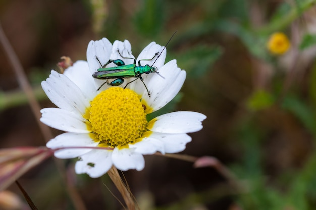 Oedemera nobilis. beetle in its natural environment.