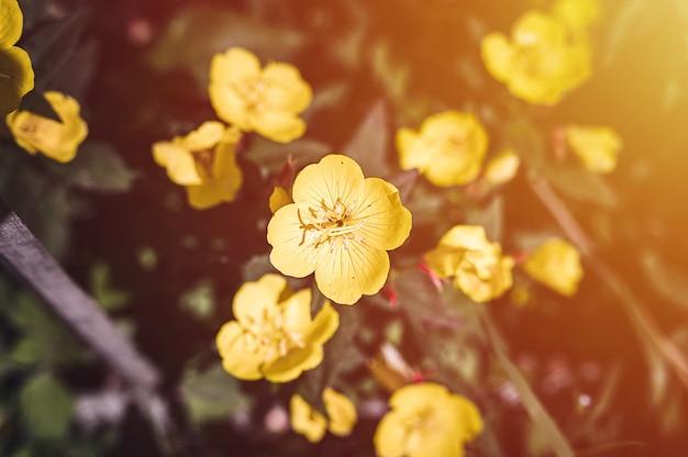 Oenothera biennis или осел, или куст желтого цветка примулы вечерней в полном цвету на фоне зеленых листьев и травы в цветочном саду в летний день. вспышка