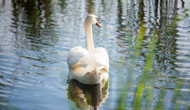 Красивого лебединого хвоста на реке