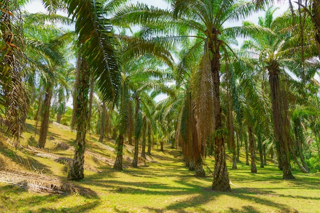 Oil palm in plantation, garden on the tree in southern of thailand.