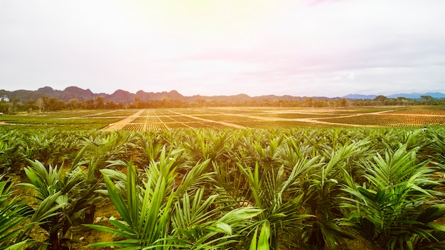 Oil palm plantation, oil palm seeding