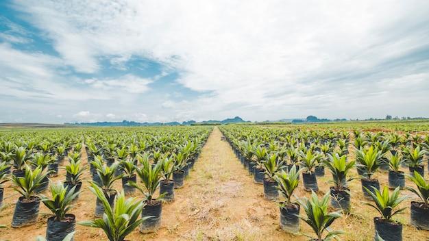 Oil palm plantation, oil palm seeding