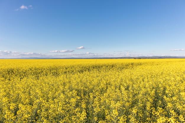 Oilseed 유채 필드와 푸른 하늘입니다. 노란색 꽃과 여름 풍경입니다.