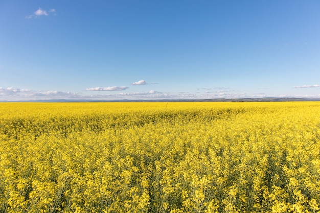 Oilseed rapeseed field and blue sky. summer landscape with yellow flowers.