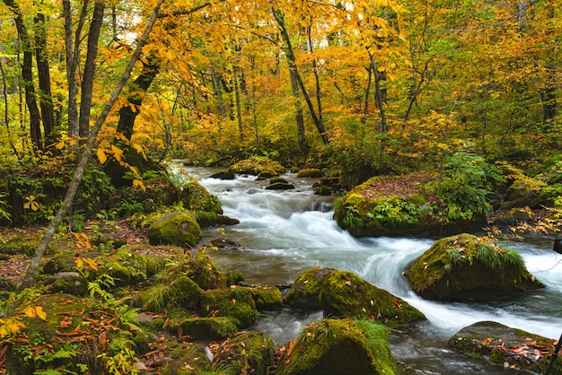 Oirase river flow passing rock covered with green moss and colorful falling leaves in beautiful foliage of autumn forest