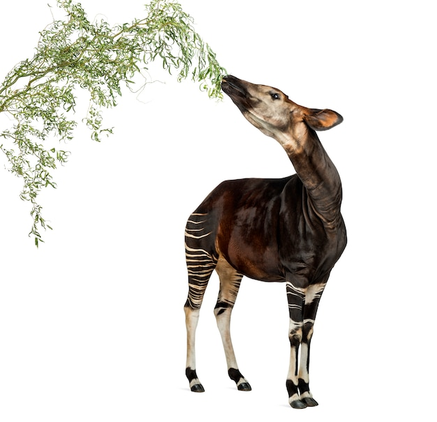 Okapi eating foliage from a branch, okapia johnstoni, isolated on white