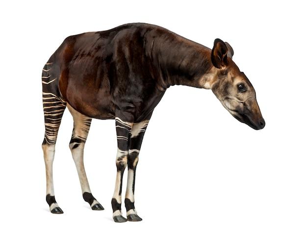 Okapi standing, looking attentively, okapia johnstoni, isolated on white