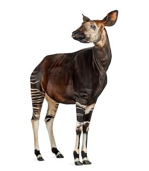 Okapi standing, showing teeth, okapia johnstoni, isolated on white