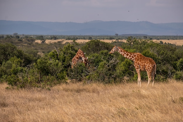 ケニアのol pejetaの木が放牧する2つのキリンの美しい景色